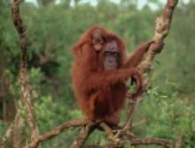 bornean_orangutan